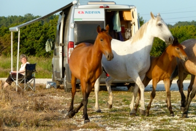 horses at carpark