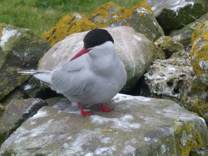 Arctic Tern Farne Islands